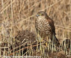 Epervier d'Europe ( Accipiter nisus)