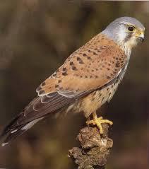 Faucon Crecerelle ( Falco tunnuculus)